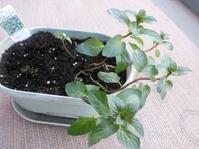 ブラックミントとアロマティカスの植え替え - Sourire de l'ange