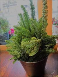 この時期はやっぱり生のモミの木・ねずの実に会いたくて♡ - ルーシュの花仕事