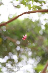 ■ モミジのブランコ - * Flower Photo Album *