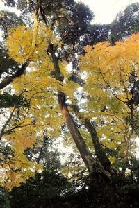 黄葉の楓、お堀の楓  - ぶらり散歩 ~四季折々フォト日記~