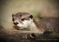 コツメカワウソ:Asian Short-clawed otter - 動物園の住人たち写真展