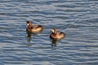 運河の水鳥 - Granpa ToshiのEOS的写真生活