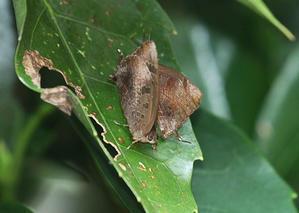 チョウたちの越冬準備②ムラサキツバメの場合 - 公園昆虫記