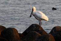 ★ヘラサギが今シーズンも飛来しました! - 葛西臨海公園・鳥類園Ⅱ