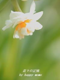 八重咲き「水仙」 - 花々の記憶  happy momo