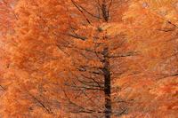 メタセコイア(?)紅葉 - 但馬・写真日和