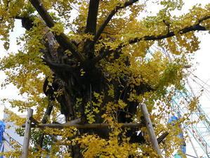 飯田屋敷の大銀杏の風景 - 人生の散歩道