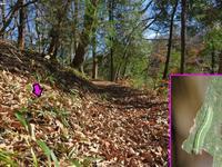 クロヒカゲ幼虫 - 秩父の蝶