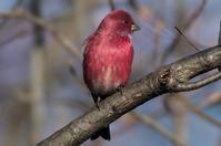 オオマシコ - Bird Focus2