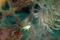 ヤマブキスズメダイ幼魚 - Diving Photo