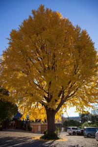 大銀杏の黄葉 色鮮やか - 彩りの軌跡