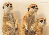 ミーアキャット:Meerkat - 動物園の住人たち写真展