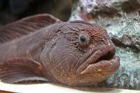 しながわ水族館:珍しい魚たち~オオカミウオとデンキウナギ - 続々・動物園ありマス。