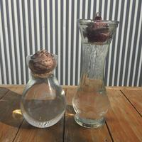 ヒヤシンスの水栽培始めました - 苺をつぶしながら