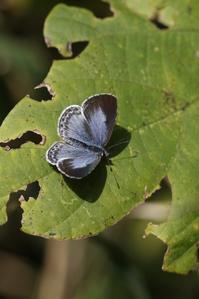初冬のヤクルリの様子 - 蝶超天国
