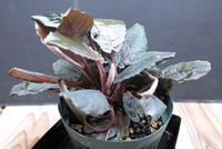 Schismatoglottis sp. 'Metallica' - PlantsCade -2nd effort