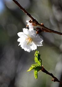 冬に咲くサクラ - 写真でイスラーム