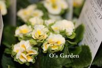 プリムラジュリアン 幸せのリング ♪ - O's garden へ ようこそ~ ♪