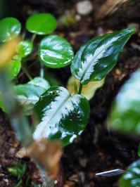アグラオネマ・ピクタム 'アチェ南' 2015年6月 GA1506-6apt-a06 - Blog: Living Tropically