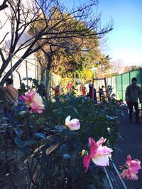 12月ツルバラ誘引とオベリスク - 駒 場 バ ラ 会 咲く 咲く 日 誌