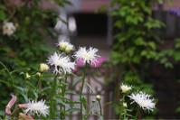 薔薇 キング! - kekukoの薔薇の庭
