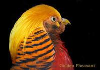 キンケイ:Golden Pheasant - 動物園の住人たち写真展