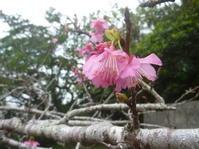 桜の便り?! - リクエスト最優先の沖縄本島「海の遊び処 なかゆくい」