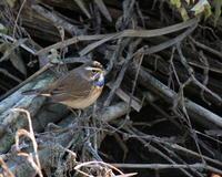 オガワコマドリを撮る・2 - 季節の鳥達