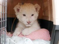 2016.12.17 東北サファリパーク☆ホワイトライオンのセラムくん【White lion baby】 - 青空に浮かぶ月を眺めながら