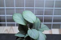 "Homalomena sp. ""Aceh"" - PlantsCade -2nd effort"