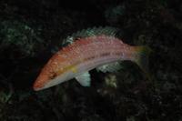16.12.19 Oxycheilinus arenatus - 沖縄本島 島んちゅガイドの『ダイビング日誌』
