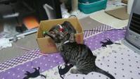 箱もおもちゃも大好き♪ - 新ニャンズと私の気まぐれ日記