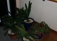 「君子蘭の植木鉢」の移動をはじめました。 - 今夜の夕食