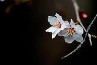 冬桜  - 四十の手習い 自転車と写真が好き