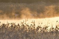 今朝の美沢湿原 2017シーズン・5 ~ オオハクチョウ - やぁやぁ。