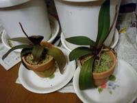 胡蝶蘭 - つれづれなるままに・・・ふくろうみーの庭