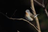 ニシオジロビタキⅡ - 『彩の国ピンボケ野鳥写真館』