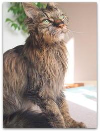 22才 ご長寿猫 はんぞう との暮らし 「12月11日~12月15日の はんぞう」 - たびねこ