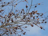 食べつくされた柿の木。これも気候変動の影響? - 大朝=水のふる里から