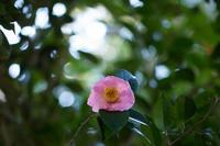 椿と山茶花 - 彩りの軌跡