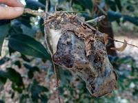 ツムギアリ……じゃなくて蛾の巣網 - 世話要らずの庭