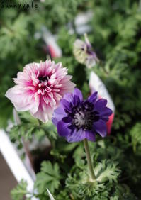 アネモネ凛々花 - さにべるスタッフblog     -Sunny Day's Garden-