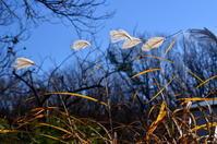 12月の森(すすき、蜘蛛の巣) - つれづれ日記