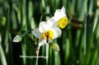 日本水仙 - 花と風の薫り