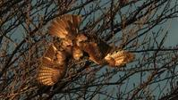 夕日を浴びて、ノスリの飛び出し - Life with Birds 3