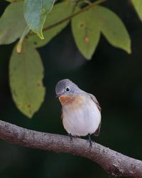 愛嬌をふりまくニシオジロビタキ - T/Hの野鳥写真-Ⅱ