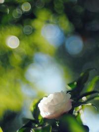 白い山茶花、いい光差して - 光の音色を聞きながら Ⅱ