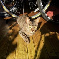 チャリンコ福猫リン - COMPLEX CAT