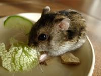 白菜三昧のミミたん (Criceto) - エミリアからの便り