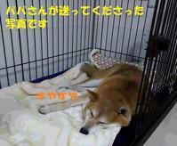 まなちゃん、正式譲渡になりました♪♪ - もももの部屋(家族を待っている保護犬たちと我家の愛犬のブログです)